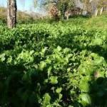 broccoli del giardino
