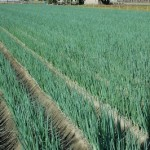 cipollotto campo agricolo
