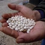 fagioli di controne nella mano del contadino Ferrante