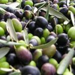 olive per la prpduzione olio bio di Marulli