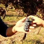 torre a orienete uva janico